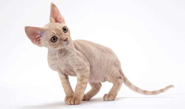 The Devon Rex